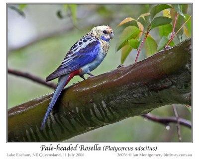 Pale-headed Rosella (Platycercus adscitus) by Ian