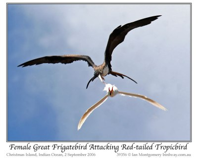Great Frigatebird (Fregata minor) Female attacking Red-tailed Tropicbird by Ian