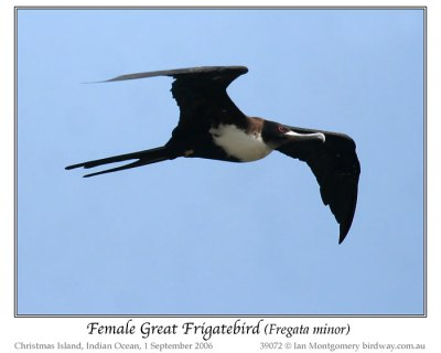 Great Frigatebird (Fregata minor) Female by Ian