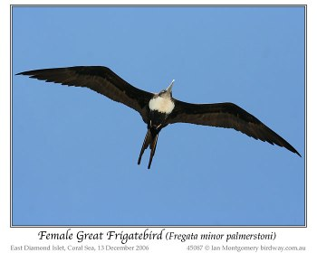 Great Frigatebird (Fregata minor palmerstoni) Female by Ian