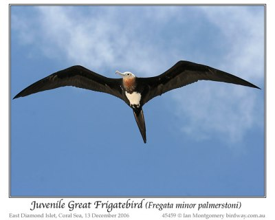 Great Frigatebird (Fregata minor palmerstoni) Juvenile by Ian