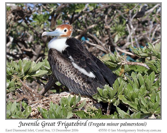 Great Frigatebird (Fregata minor palmerstoni) Juvenile by Ian