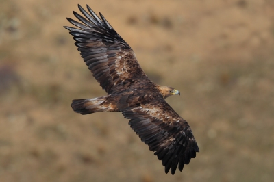 Golden Eagle (Aquila chrysaetos) Flying ©WikiCJuan Lacruz