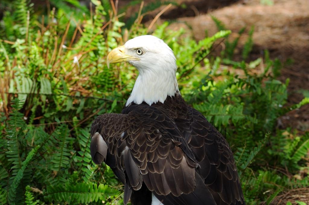 Bald Eagle (close up) LP Zoo by Dan