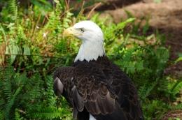 Give Thanks –Eagle