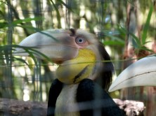 Wreathed Hornbill Juvenile Male CF Zoo by Lee