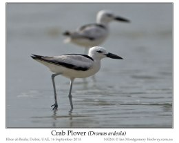 Ian's Bird of the Week – Crab Plover