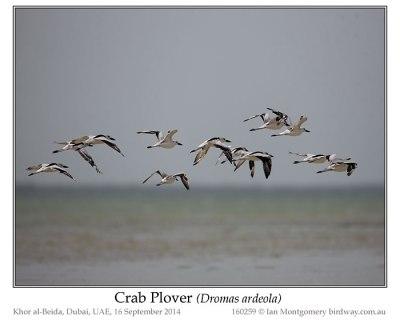 Crab-plover (Dromas ardeola) by Ian