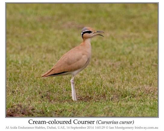 Cream-colored Courser (Cursorius cursor) by Ian