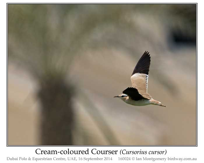 Cream-colored Courser (Cursorius cursor) by Ian