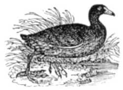 Childs Bk of Water Birds coot