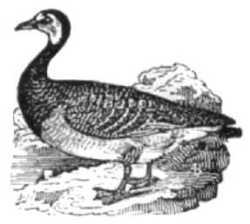 Childs Bk of Water Birds goose
