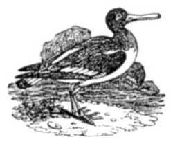 Childs Bk of Water Birds oystercatcher
