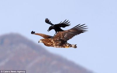 Crow on Eagles Back ©©