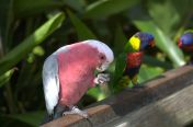 Galah and Lorikeet watching nearby at Brevard Zoo by Dan