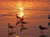 Gulls at Sunrise