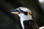 Laughing Kookabura by Dan