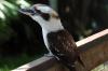Laughing Kookaburra at Brevard Zoo by Lee