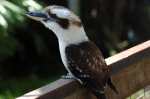 Laughing Kookaburra at Brevard Zoo by Lee
