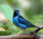 Blue Dacnis (Dacnis cayana) ©WikiC