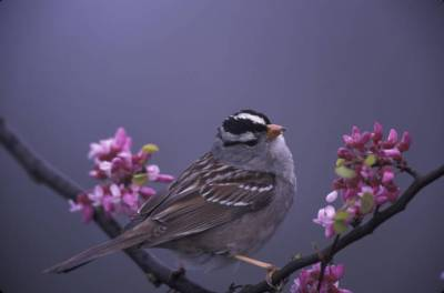 White-crowned Sparrow (Zonotrichia leucophrys) ©USFWS