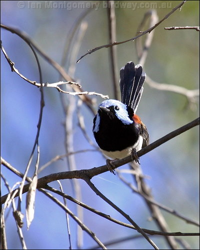 Lovely Fairywren (Malurus amabilis) by Ian