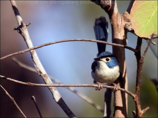 Lovely Fairywren (Malurus amabilis) female by Ian