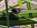 Purple-crowned Fairywren (Malurus coronatus) Female by Ian