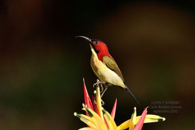 Lovely Sunbird (Aethopyga shelleyi) ©WikiC