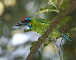 Red-crowned Barbet (Psilopogon rafflesii) ©WikiC