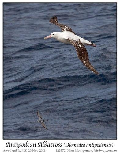 Antipodean Albatross (Diomedea antipodensis) by Ian