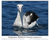 ntipodean Albatross (Diomedea antipodensis) by Ian