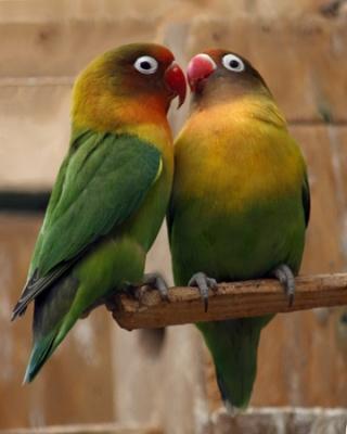Black-cheeked Lovebird (Agapornis nigrigenis) ©WikiC