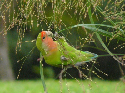 Rosy-faced Lovebird (Agapornis roseicollis ) A feral Rosy-faced Lovebird eating seeds in Chicago ©WikiC