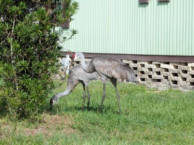 Sandhill Cranes in side yard