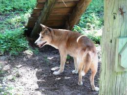 Answer's Dingo Dog