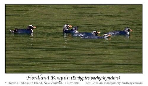 Fiordland Penguin (Eudyptes pachyrhynchus) by Ian