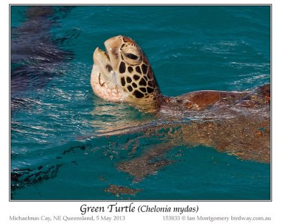 Green Turtle (Chelonia mydas) by Ian