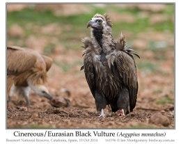 Ian's Bird of the Week – Cinerous/Eurasian Vulture