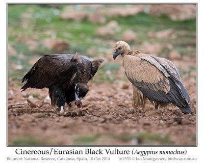 Cinereous Vulture (Aegypius monachus) by Ian
