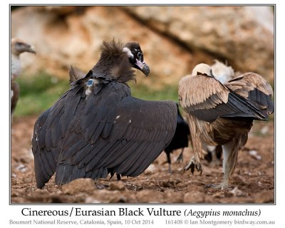 Cinereous Vulture (Aegypius monachus) by Ian