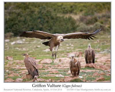 Griffon Vulture (Gyps fulvus) by Ian