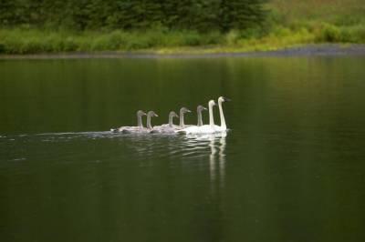 Swan Family ©USFWS