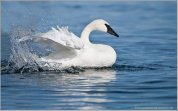 Trumpeter Swan (Cygnus buccinator) by Ray