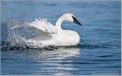 Trumpeter Swan (Cygnus buccinator) by Ray