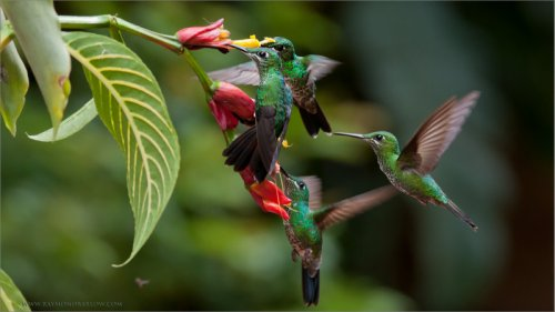 Green-crowned Brilliant (Heliodoxa jacula) Females Feeding by Raymond Barlow