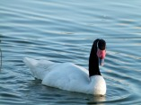 Black-neck Swan at Lake Morton