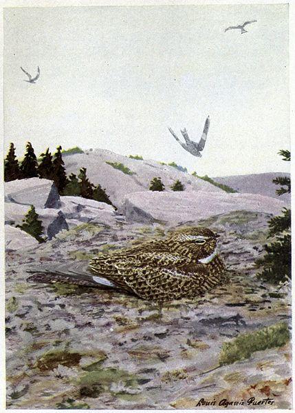 Boomer the Nighthawk - Burgess Bird Book ©©