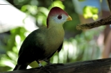 Red-crested Turaco (Tauraco erythrolophus) Brevard Zoo by Dan