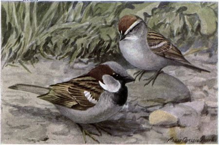 Bully the English Sparrow, Chippy the Chipping Sparrow - Burgess Bird Book ©©